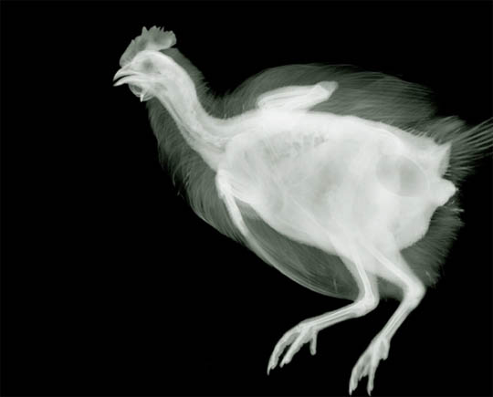 X-Ray photography Nick Veasey chicken
