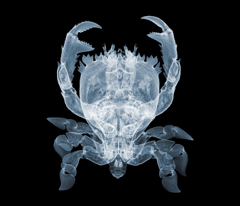 X-Ray photography Nick Veasey crabs