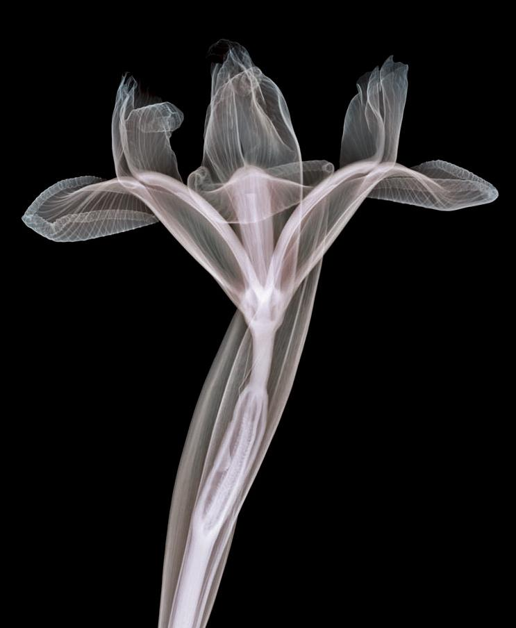 X-Ray photography Nick Veasey flower 2