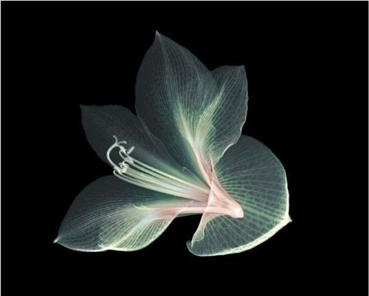 X-Ray photography Nick Veasey flower