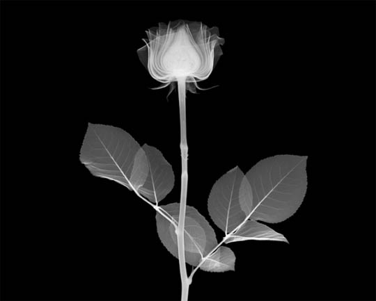 X-Ray photography Nick Veasey rose