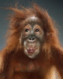 Funny monkey portraits by Jill Greenberg - chicquero
