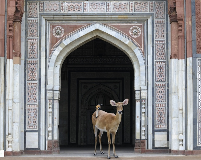 Karen Knorr photography - Animals Chicquero - The-Messenger-Purana-Qila-Delhi