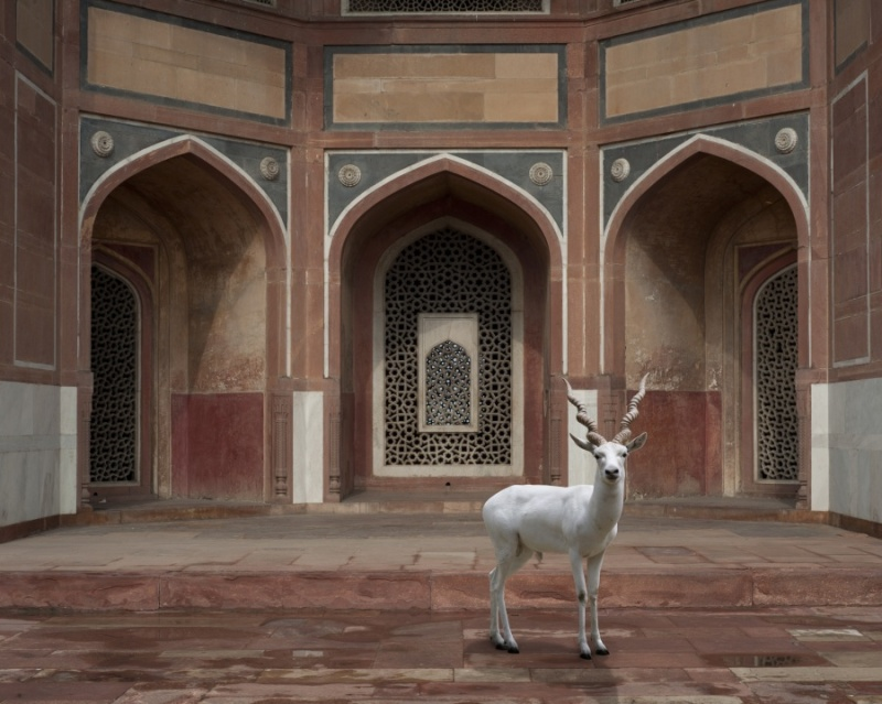 Karen Knorr photography - Animals Chicquero - The-Witness-Humayuns-Tomb-Delhi